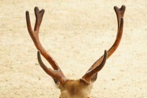 鹿の角 | DEER INFO-日本で唯一の鹿情報総合サイト