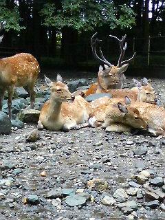 弥彦神社の鹿
