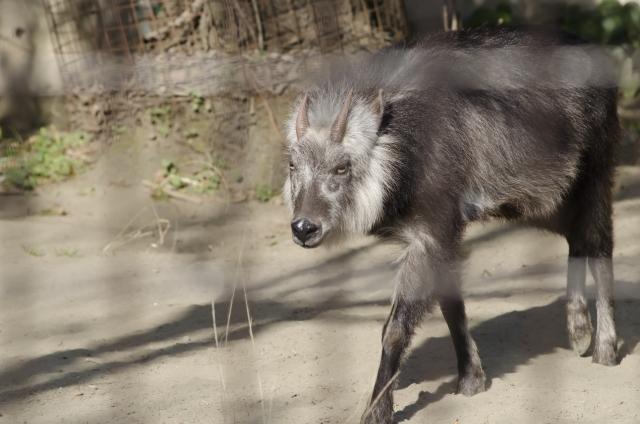 動物園のニホンカモシカ