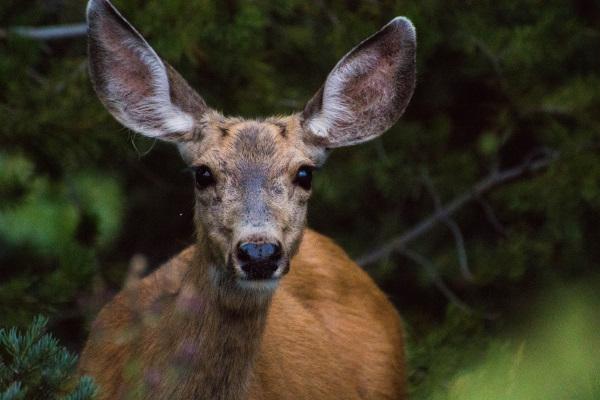 人間に気付いても逃げない鹿
