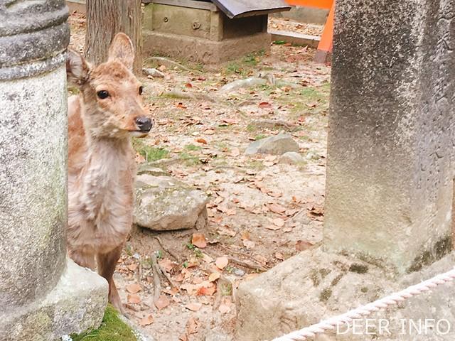 春日大社の灯篭と鹿