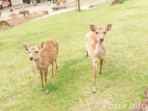 若草山ふもとの鹿
