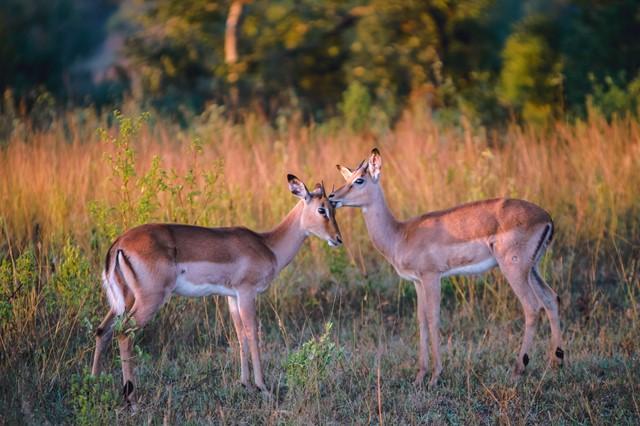 鹿同士のコミュニケーション
