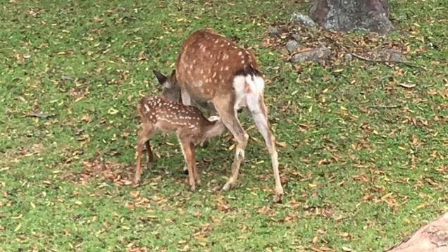 お母さんのおっぱいを飲む小鹿