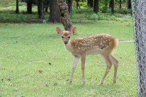 かわいい小鹿