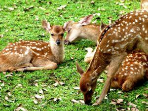 奈良公園・鹿苑での子鹿公開の様子