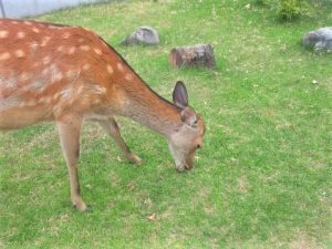 芝刈り機いらずの奈良公園