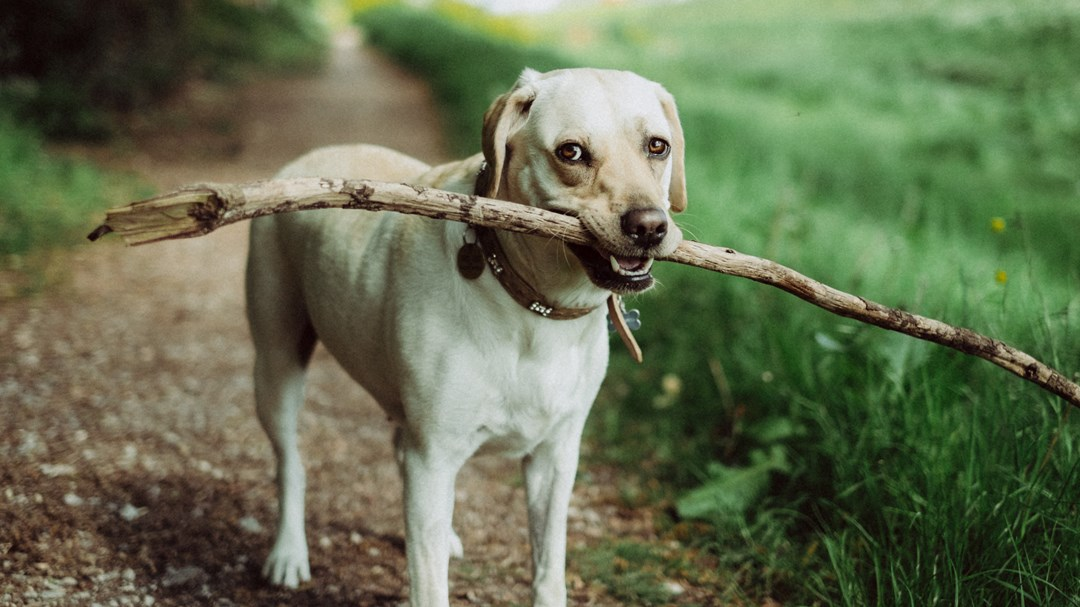 木の枝をくわえる犬