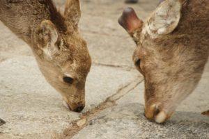 鹿のオスとメスの違い